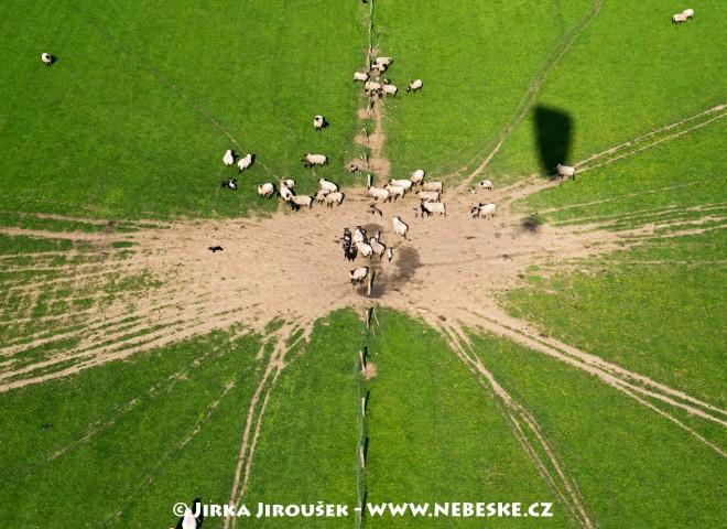 Ovce na pastvě /J7
