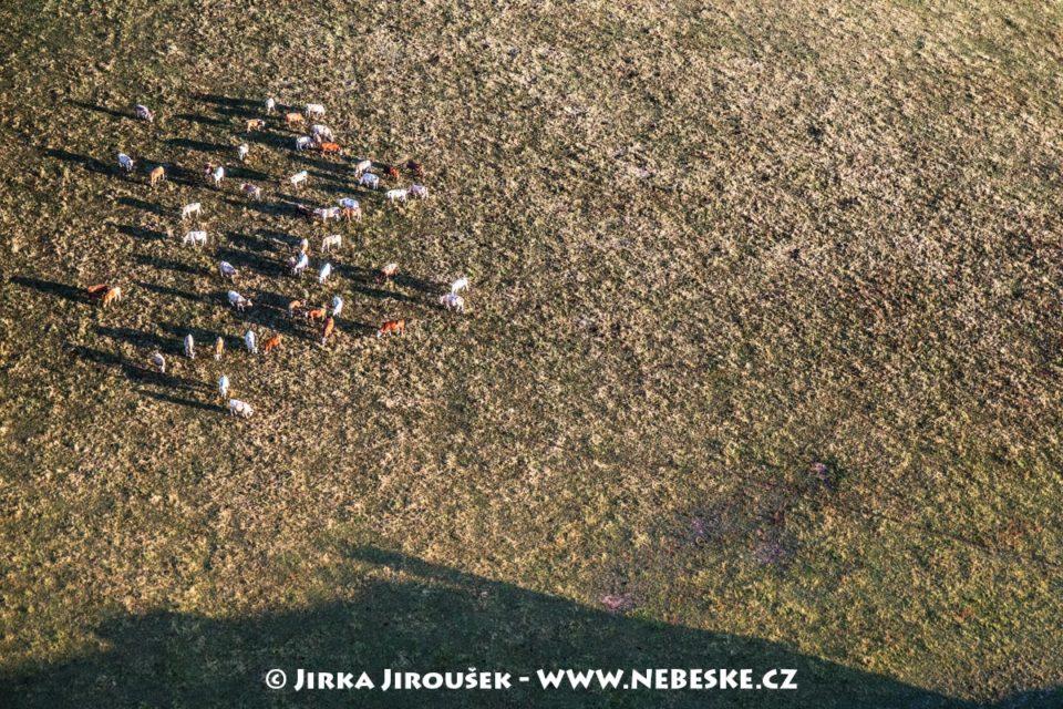 Dobršské krávy J1960