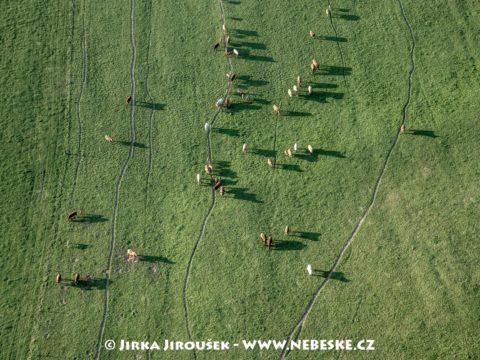 Stříbřec – krávy J3257